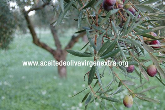 Cubiertas vegetales en el olivar: imprescindibles, entre otras cosas, para la lucha contra las plagas
