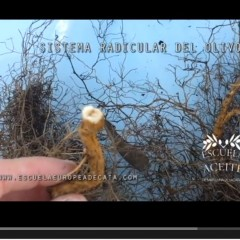 Sistema radicular del olivo (I)